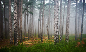 Pinetrees misty forest wallpaper mural