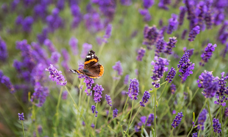 Pretty Butterfly And Lavender Wall Mural