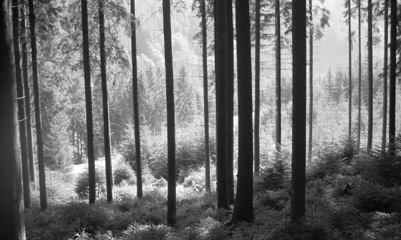 Greyscale Tall-tree Forest Wallpaper Mural