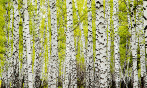 Crowded Yellow Birchwood Forest Wallpaper Mural