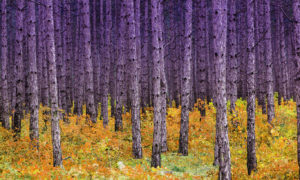 Purple and Yellow Contrasting Trees Wallpaper Mural