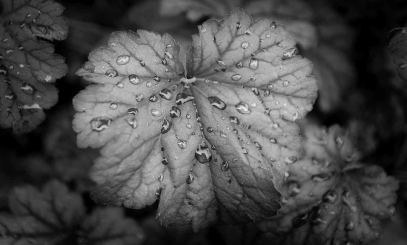 Grayscale Leaf with Rain Droplets Wallpaper Mural