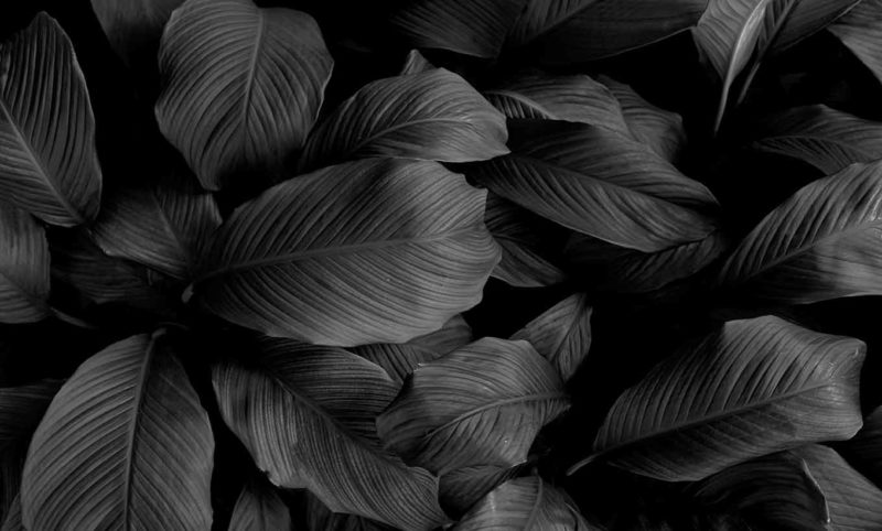 Grayscale Large Leaves Wallpaper Mural